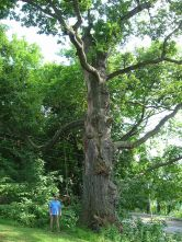Worshipping_Oak_-_Haverhill,_MA_-_August_2012 (1)